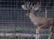Indian Mountain Ranch Whitetail Breeder Bucks - HWH Showtime