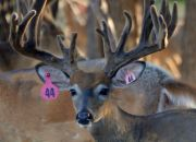 Indian Mountain Ranch Whitetail Breeder Bucks - HWH Quanah Parker