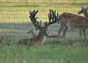 Indian Mountain Ranch Whitetail Breeder Bucks - HWH Cool Hand Luke