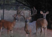 Indian Mountain Ranch Whitetail Breeder Bucks - HWH Orange 30
