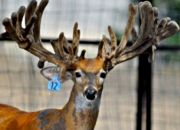 Indian Mountain Ranch Whitetail Breeder Bucks - HWH Blue Norther